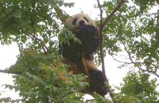 Cronache Transiberiane — panda cinese